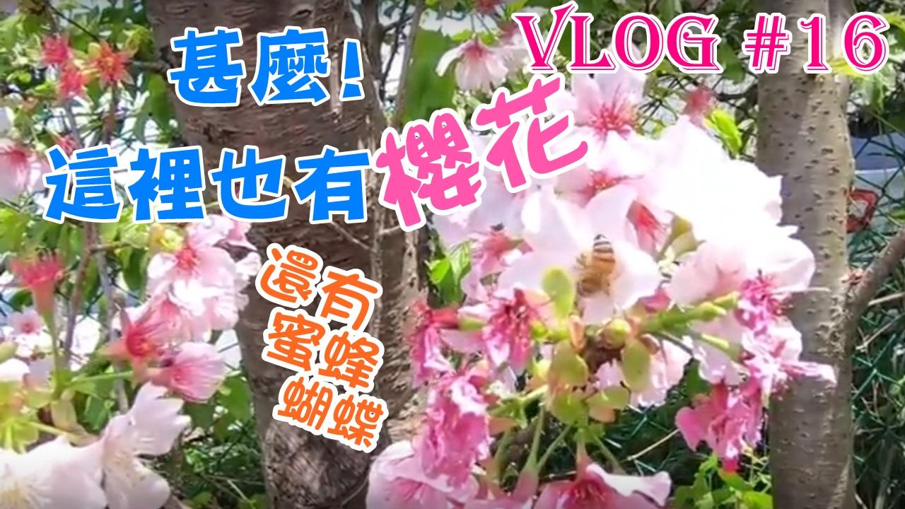 【台北】甚麼!這裡也有櫻花!不去可惜喔!2018年淡水八里 渡船頭往八里療養院賞櫻之路
