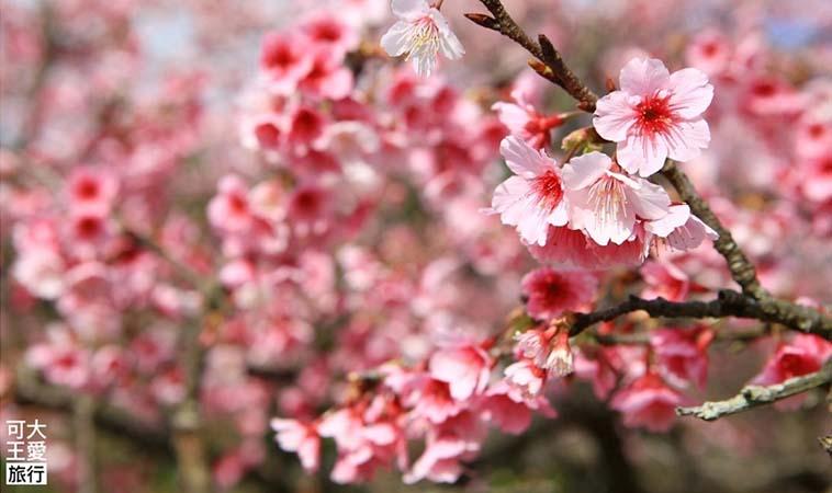 2020陽明山花況一覽,冬春之際就來賞櫻