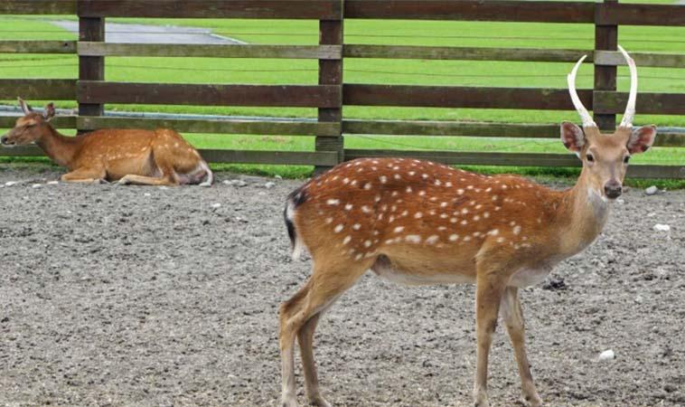 無料看梅花鹿的景點,可愛又可近距離互動