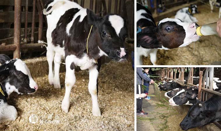 免費牧場景點,跟著牛隻互動一起玩