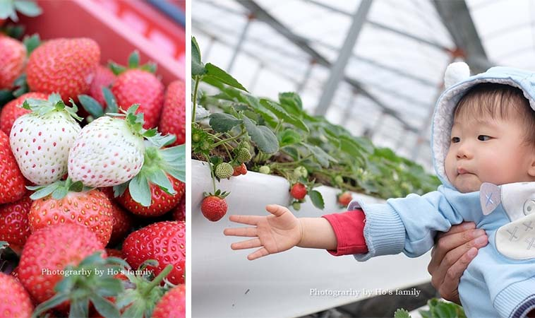 冬天採草莓去囉!安全簡單好玩適合小小孩