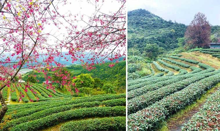 宜蘭櫻花盛開,假日郊區賞花泡茶去
