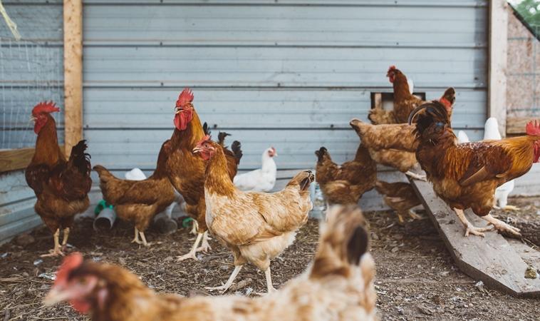 禽流感來勢洶洶 孕婦與寶寶防疫法
