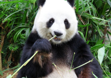 Giant Panda Breeding
