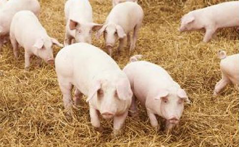 【対談】肉豚の大群飼育管理用オートスケール「デジトンDT」をタイで発売開始! 宇野マシナリー X 田中スケール(田中衡機工業所)