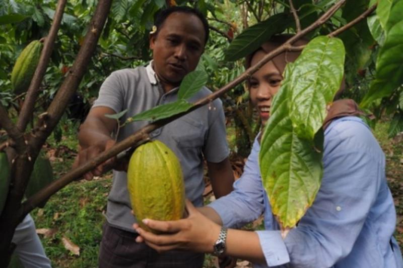 Koperasi Kerta Semaya Samaniya (KSS) berhasil menembus pasar kakao dunia. Foto: Kemenkop.