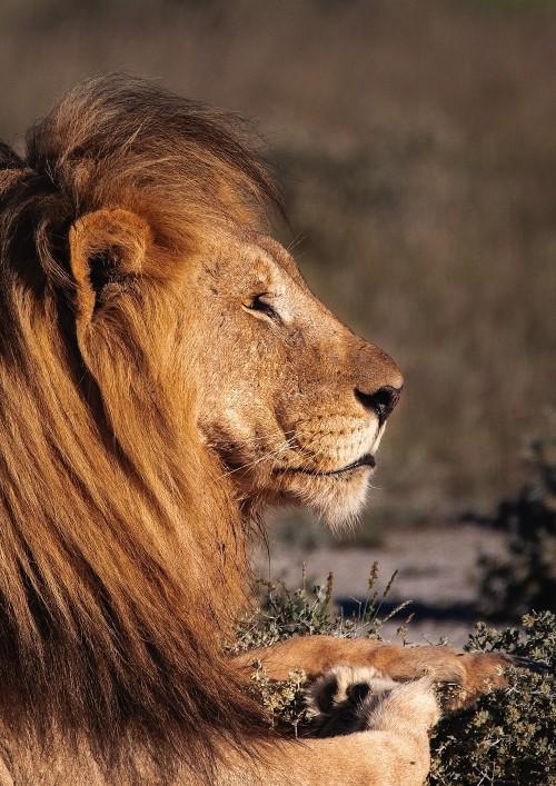 ปกนิยายเรื่อง Dear Mr.Lion #คุณสิงโตที่รัก