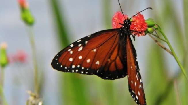 Ilustrasi kupu-kupu. (freedigitalphotos)