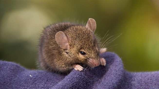 Ilustrasi tikus. [Pixabay]