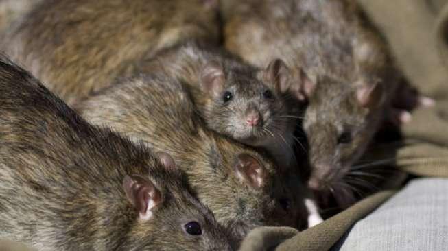 Ilustrasi beberapa ekor tikus. [Shutterstock]