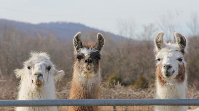 Llama. (Shutterstock)
