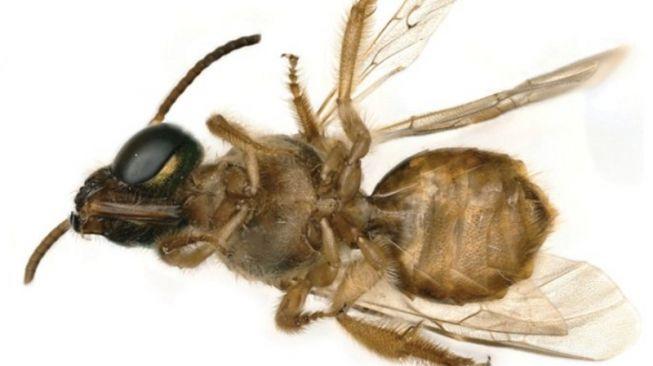 Lebah berkelamin ganda. [Foto: sciencealert.com]