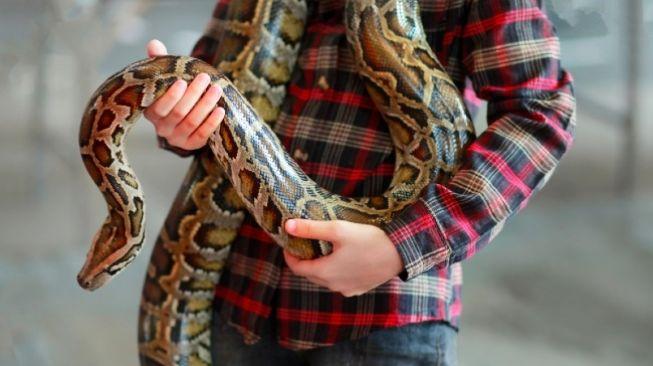Ilustrasi ular piton atau yang lebih dikenal dengan sebutan ular sanca di masyarakat Indonesia. [Shutterstock]