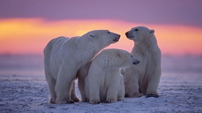 Beruang kutub. [Shutterstock]