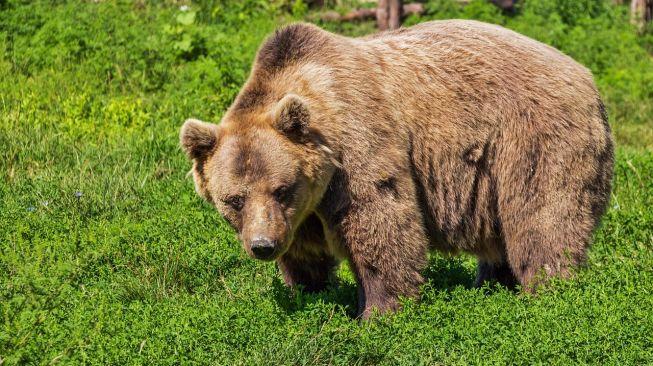Ilustrasi beruang coklat. (Pixabay/Bergadder)