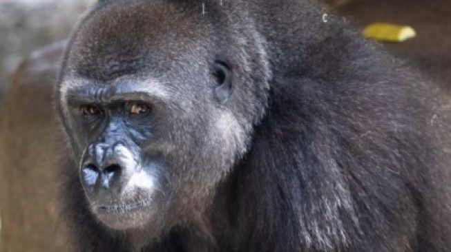 Tumani si Gorila hamil. (Audubon Natur Institute)