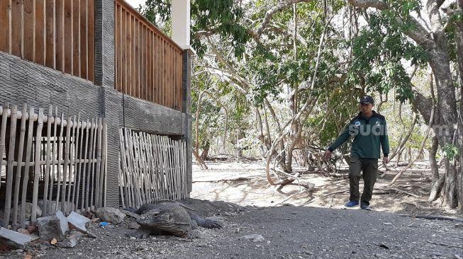Seekor Komodo sedang beristirahat. (Suara.com/Lilis Varwati)