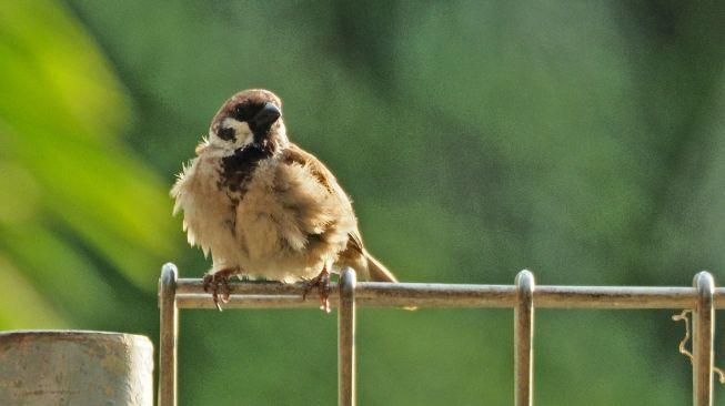 Burung Pipit. [Cherylyn Ang/Unsplash]
