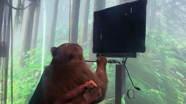 Monyet bernama Pager, yang otaknya sudah dipasangi chip Neuralink, perusahaan milik Elon Musk, bisa bermain game langsung menggunakan otak. [Youtube/Neuralink]