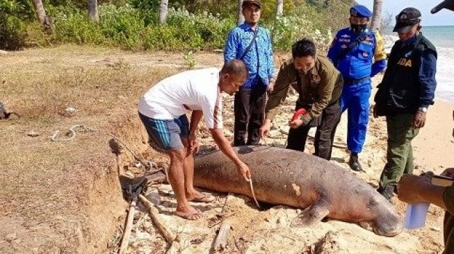 Beda dugong, pesut, dan lumba-lumba - Dugong mati ditemukan terdampar di Pantai Bawean Gresik Jawa Timur [Foto: Beritajatim]