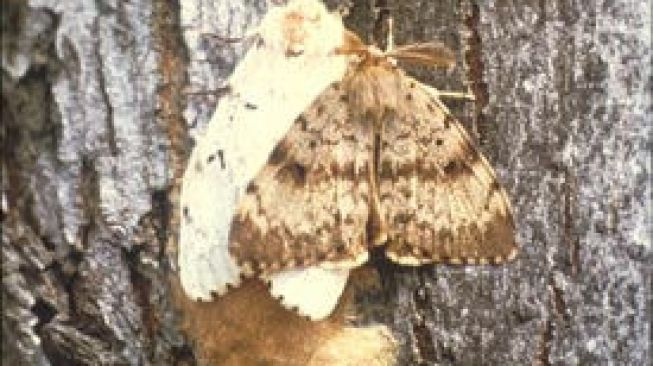 Gypsy moths (ngengat gipsi). [Department of Environmental Conservation]