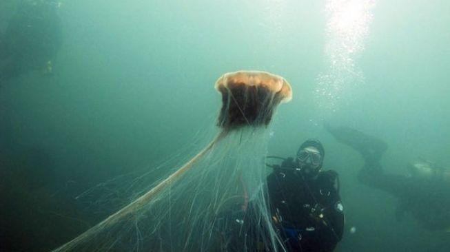 Ubur-ubur terbesar di dunia. [Mirror/Darren Martin/Pen News]