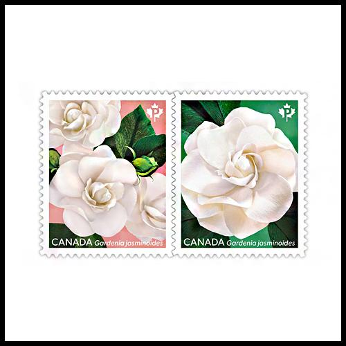 White-Cape-Jasmine-Gardenias