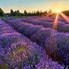 lavender_breeze