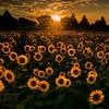 shaza_sunflowersoul