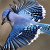 jaye_bird