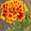 marigold_93