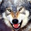 wolfiguy100