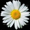 blooming_daisy