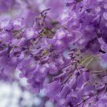 Du lịch Đà Lạt tháng 3 ngắm hoa phượng tím