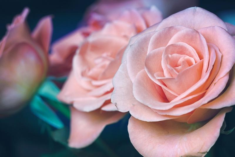 Cách làm đẹp với hoa hồng của những nàng cung nữ ngày xưa