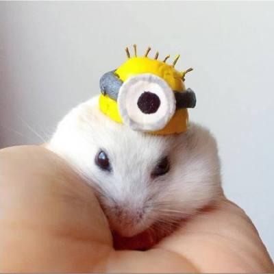 【賣相超可愛的小倉鼠】  每日都有不同款式的帽子!真係又潮又可愛!  Source: maaaaay_chan #misstiara #可愛 #倉鼠