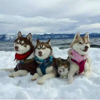 【貓狗這一家】呢隻可愛貓仔比三隻husky當正自己親生咁照顧,你睇佢地宜家幾friend~唔知佢會唔會覺得自己係一隻狗呢? Source : boredpanda  #misstiara #dog #cat #friendship