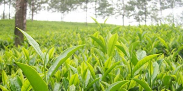 खाद्य मंत्री बोले- इसी सीजन में मैनपाट में शुरू होगी चाय की खेती