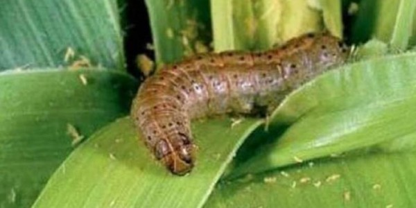 Mizoram government launches a crusade against Fall Armyworm