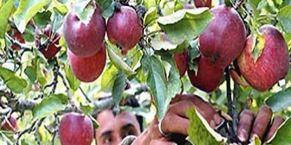 प्रदेश सरकार के दावे खोखले, मंडियों तक नहीं पहुंच रहा बागवानों का सेब