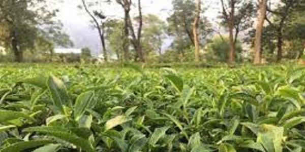 tripura-taking-measures-to-facilitate-tea-export-to-b-desh