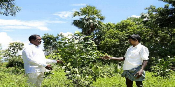 MLA gives stumpy palm trees to Gouds