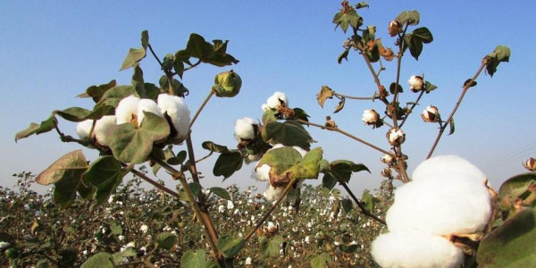 Maharashtra unlikely to deliver relief promised to cotton farmers hit by pest attack, say officials