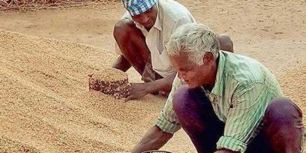 Paddy conundrum farmer loses out in Odisha government's data crunching