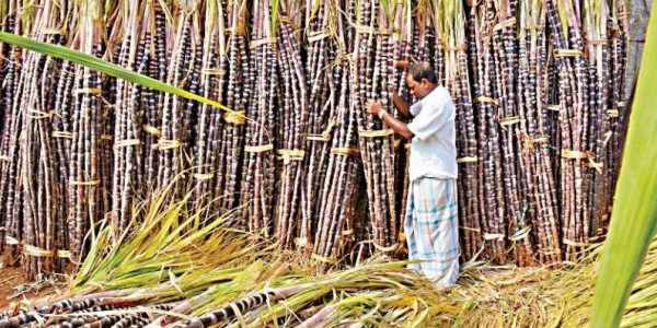 Sugarcane Farmers of Vellore Left in Lurch by Tamil Nadu Government