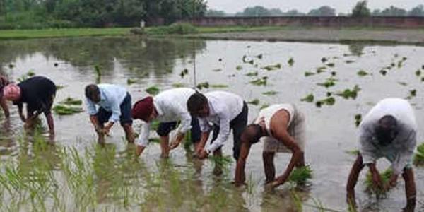 रोजगार का यह हाल, यहां एमए व बीए पास युवा कर रहे खेतों में धान रोपाई