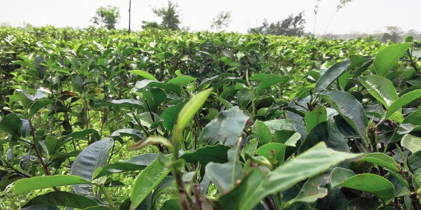Bangladesh to buy Tripura tea: Biplab Kumar Deb