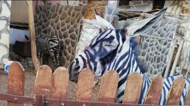 A zoo is accused of painting a donkey and passing it of as a zebra