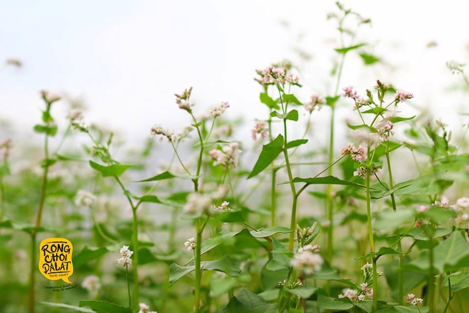 Loài hoa mong manh đẹp hơn khi mọc thành cánh đồng