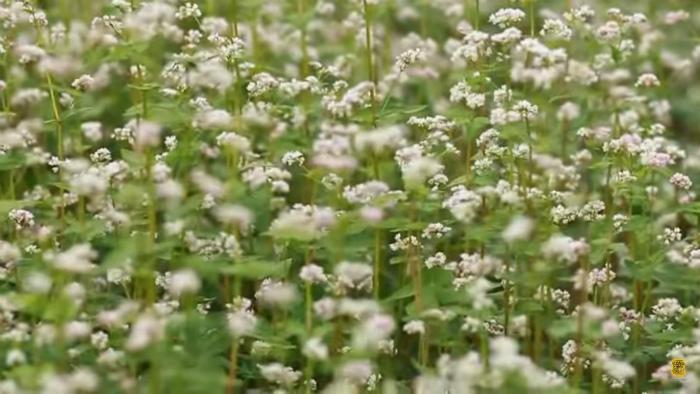 Màu sắc hài hòa của hoa tam giác mạch